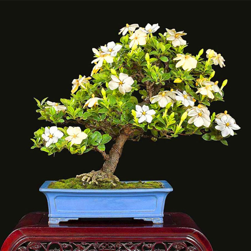 Egrow 100Pcs/Pack Gardenia Seeds DIY Home Garden Potted Bonsai Amazing Smell Plant for Room
