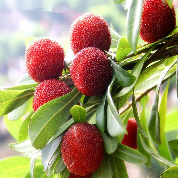Egrow 10Pcs/Pack Arbutus Seeds Delicious Sweet Sour Chinese Fruit Seeds Farm Garden Plants Tree Seed
