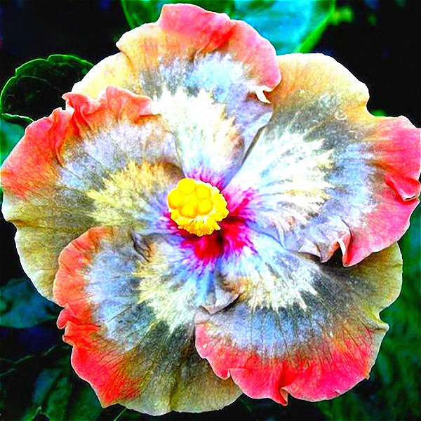 Egrow Egrow 50pcspack Giant Hibiscus Flower Seeds Garden Home