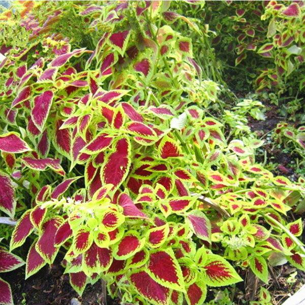 Egrow 100Pcs/Pack Janpanse Coleus Seeds Garden Foliage Plants Flowers Bonsai