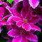 Egrow 100 Unids / Paquete Clematis Plantas Semillas De Flores Clematis Vides Bonsai Flor Flores Perennes