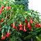 100 stücke Datura Pflanzen Bonsai Blumensamen für Hausgarten Pflanzen Datura Seltene Blume