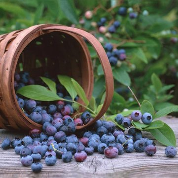 Egrow 30Pcs Blueberry Seeds