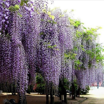 10Pcs Purple Wisteria Flower Seeds Wisteria Sinensis  DIY Home Garden Yard Plant