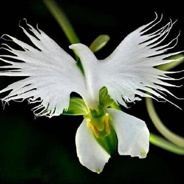 200 Semillas de flores orquidáceas japonesas