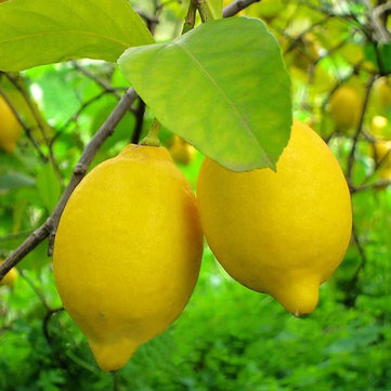 Egrow 20 Pcs/Pack Edible Yellow Lemon Seed
