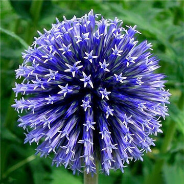 Семена цветов Egrow 100PCS Giant Allium Giganteum