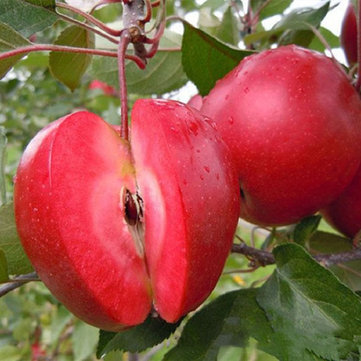 Egrow 50 Pca/Pack Red-Fleshed Apple Seeds