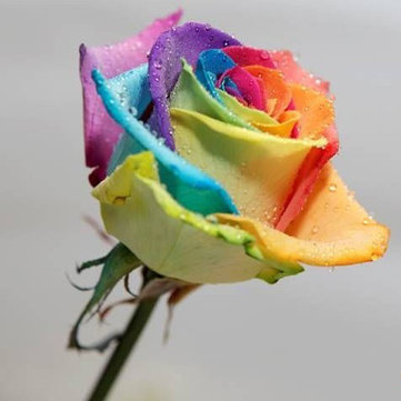200Pcs Rainbow Rose Seeds