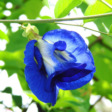 Egrow 50Pcs Purple Clitoria Ternatea Seeds Casa Giardino Bonsai Outdoor Arrampicata Seeds