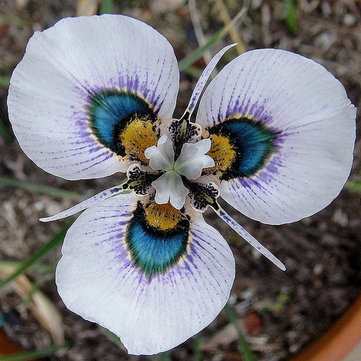 40pcs / sac Blue Eyes Moraea Seeds
