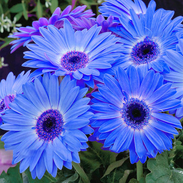 100Pcs/Pack Gerbera Daisy Seeds