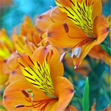 100PCS/Pack Lily Seeds