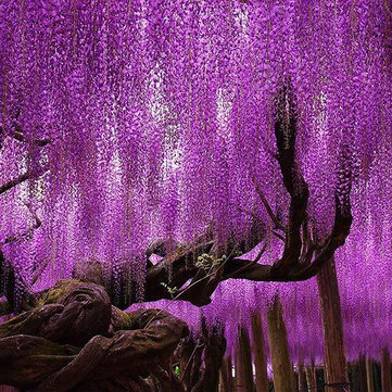 15Pcs/Bag  Wisteria Flower Seeds