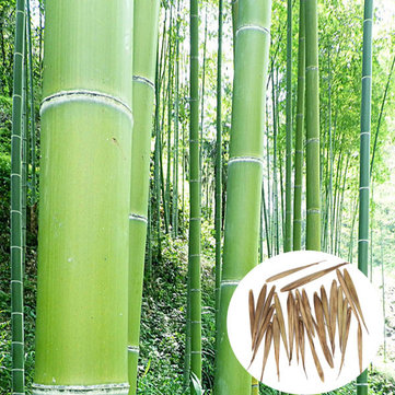 100pcs Garden Evergreen Arbor Moso Bamboo Seeds