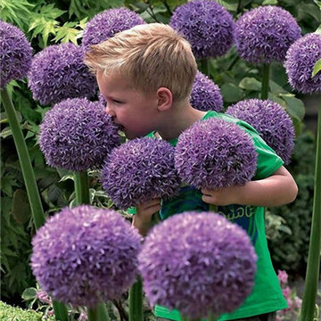 EGROW 100 Semillas de flores de allium