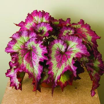 100 قطع الوردي أخضر بذور زهرة القوليوس