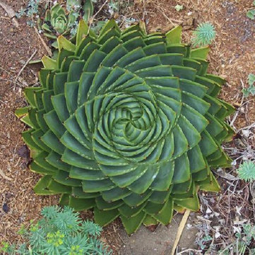 100Pcs Aloe Polyphylla Seeds
