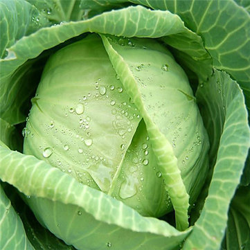 100Pcs Giant Cabbage Seeds