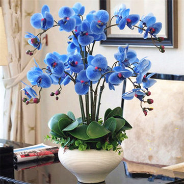 100 graines de Phalaenopsis