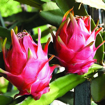 Lot de 50 pcs semences de pitaya