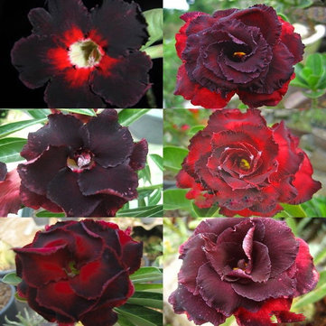 5 PCS Rare Brown Black Desert Rose Seeds