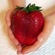100Pcs Giant Red Strawberry Seeds Rarest Heirloom Super Giant Japan Strawberry Seeds Garden