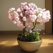 Semi di Sakari Semi Rari di 10Pcs Fiori di ciliegio Seeds Fiore di giardino Bonsai Tree