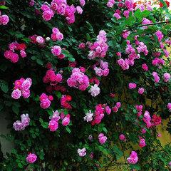 100шт Духи Радуга Восхождение Растения Красочные Рок Кресс Цветочные Семена