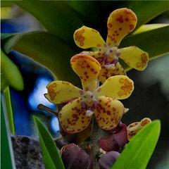 Egrow 200pcs/Bag Rare Orchid Bonsai Plant Seeds Natural Growth Flower Seeds for Home Garden