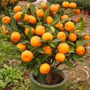 Lot de 30pcs graines de mandarine fruits comestibles plante bonsaï agrumes orange