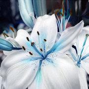 50 синих семян лилии герметичный бонсай