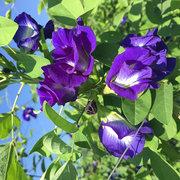 Egrow 50Pcs Purple Clitoria Ternatea Semillas Home Garden Bonsai Al aire libre Subir