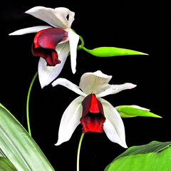 Egrow 20pcs/Bag New Sementes Rare Orchid Seeds Flower Orchid Seeds For Home Garden Plants
