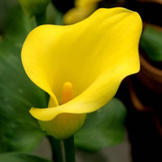 Egrow 50PCS Calla Lily Seeds Garden Balcony Potted Perennial Flower Seeds Bonsai Ivy Flowers