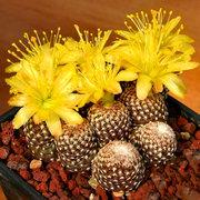 Egrow 100 قطعة / الحزمة cacyus البذور الصبار بونساي زهرة نبات الصبار نادرة plantus بونساي زهرة