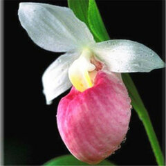 120Pcs/Bag Rare Orchid Beautiful Orchid Seeds Bonsai Flower Seeds Orchid Seeds