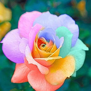 Rainbow Rose Pink Peach Rose Seed Bonsai Flower for Indoor Rooms Seed 100 Particles / lot