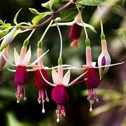 30 قطع بذور الفوشيه هبريدا فوس بوعاء النباتات الزينة حديقة بونساي