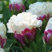 Egrow 100Pcs/Bag Icecream Tulips Seeds Rare Artificially Cultivated Perennial Bulb Flowers Seeds