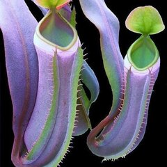 50Pcs Home Garden Eating Mosquito Carnivorous Plants Nepenthes Seeds