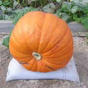 Egrow 10Pcs/Pack Giant Pumpkin Seed Big Squash Ornamental Ground Vegetable Seed Halloween Decoration