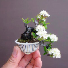 10Pcs/Bag Multicolor Potted Cherry Bonsai Seeds Home Decoration Yard Sakura Seeds