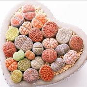 Egrow 100 pcs Rainbow Color Rare Potted Stone Sementes Succulentes Misturar Cor Enviados Carnuda Semente Da Planta