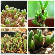 Monilaria Obconica Форма Кролика Семена Бонсай Суккулентных Растений Семена Дома Синий Мясистый Кролик