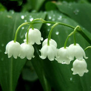 White Lily of the Valley Flower Convallaria Seeds Rich Aroma Bonsai Flower Seed 50Pcs/Bag