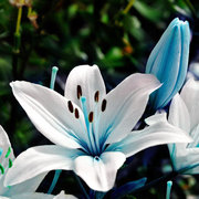 50Pcs Blue Heart Lily Seeds Potted Plant Bonsai Lily Flower Seeds For Home Garden