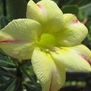 10Pcs Adenium Obesum Seeds Balcony Flowers Desert Rose Seeds