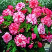 100Pcs Rosa Begonia Flower Semillas Magia Jardín Bonsai Flower Semillas Home Yard