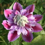 100 قطع الياسمين بذور بوعاء الياسمين زهرة حديقة نباتات الزينة